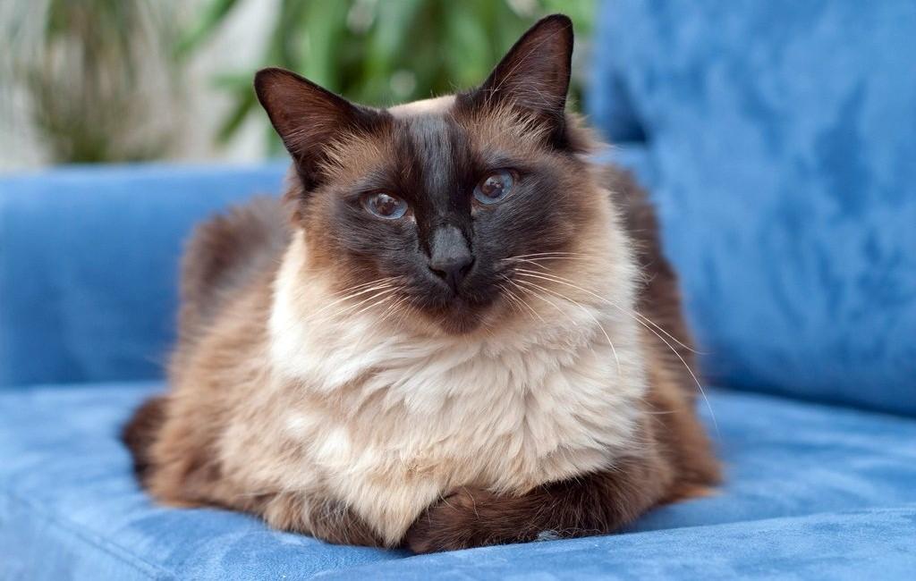 Балинезийская кошка (балинез)