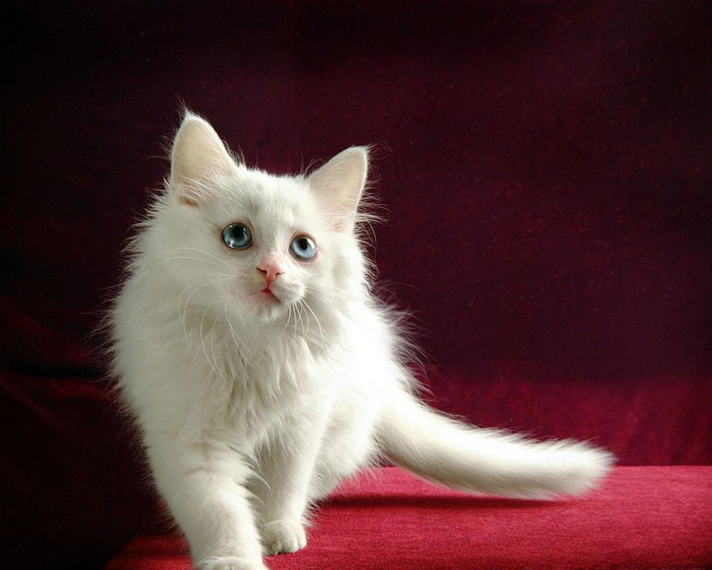 Как назвать белого кота: критерии выбора клички