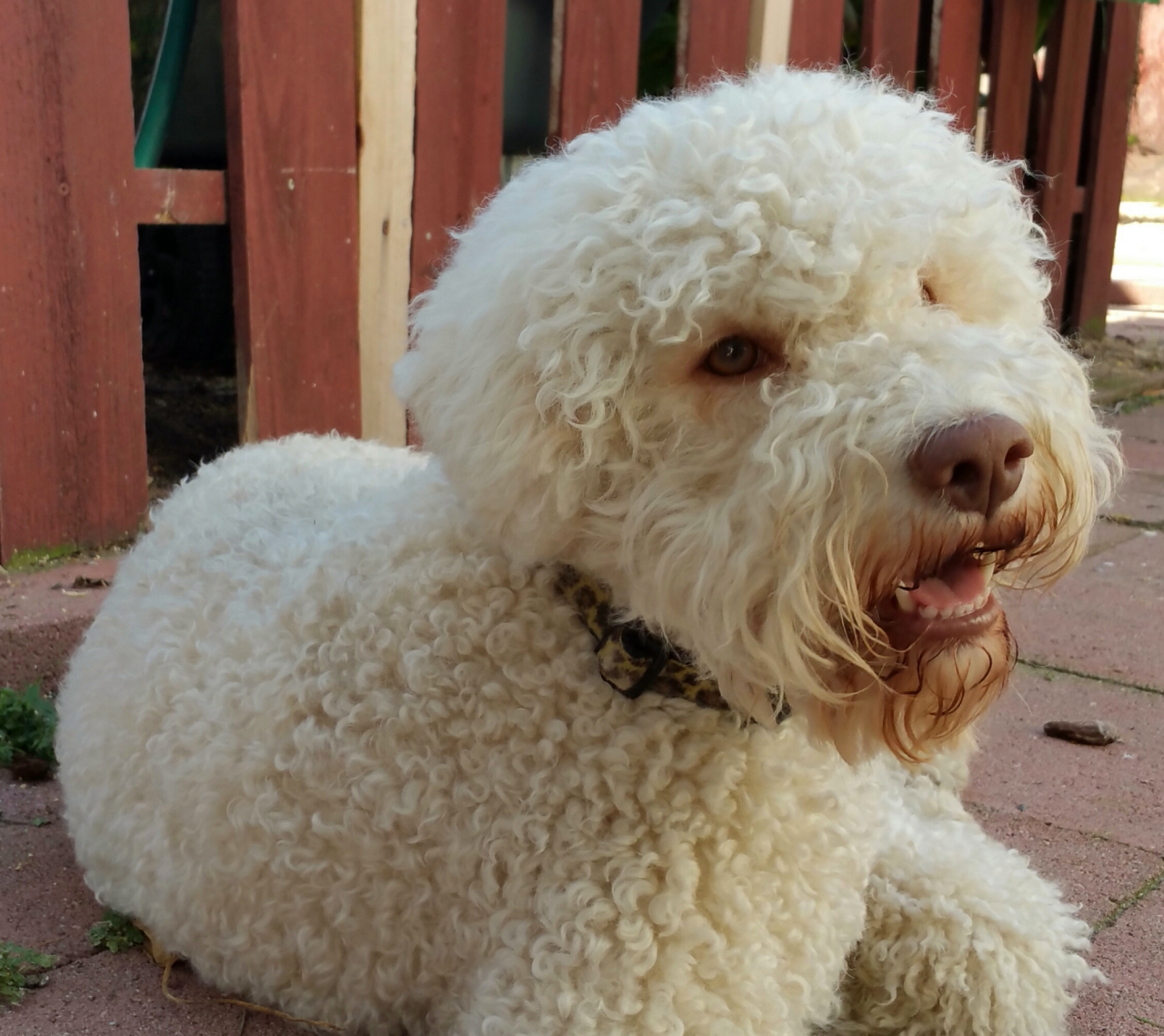 Лаготто романьоло: описание единственной в мире собаки, умеющей искать трюфели