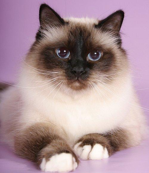 Бирманская кошка (священная бирма)