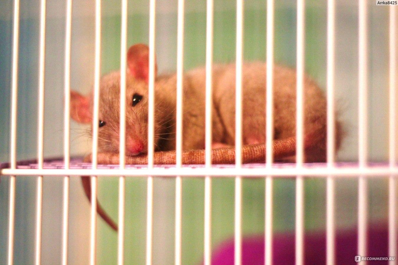 Домашние крысы — описание, уход, плюсы и минусы питомца