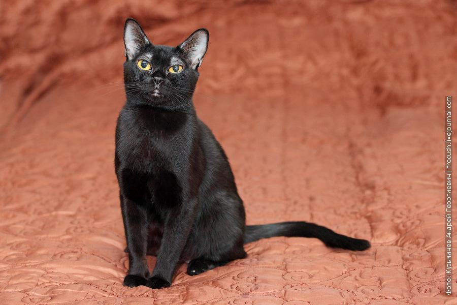 Бомбейская кошка (бомбей)