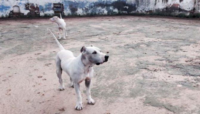 Гуль донг: собака, которую боятся даже медведи