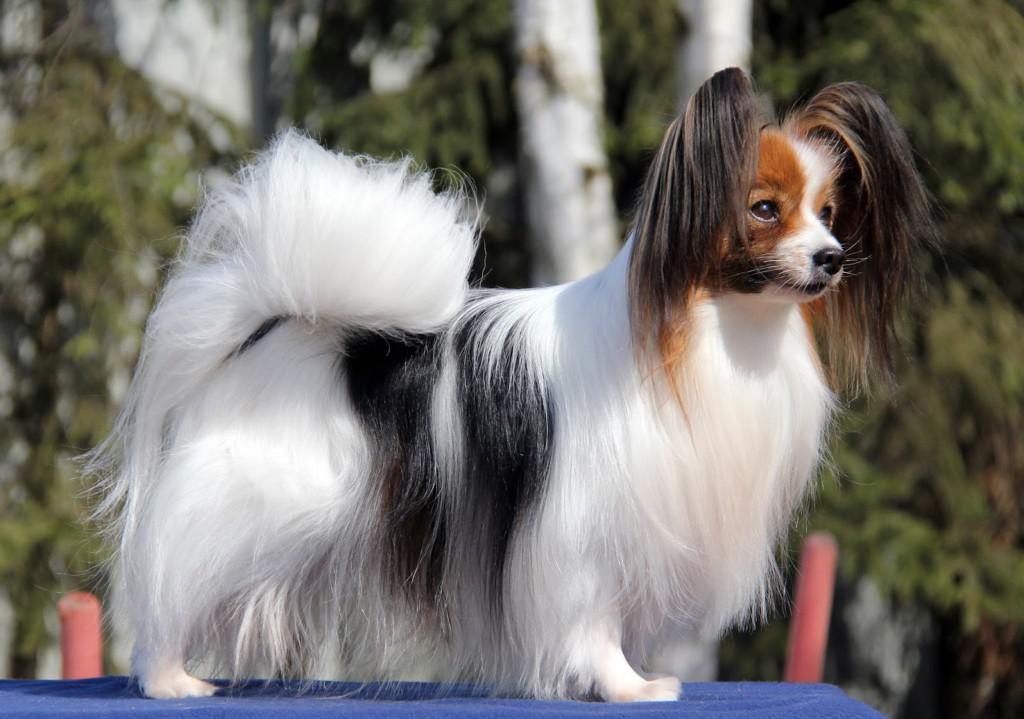 Папильон (собака бабочка): описание породы