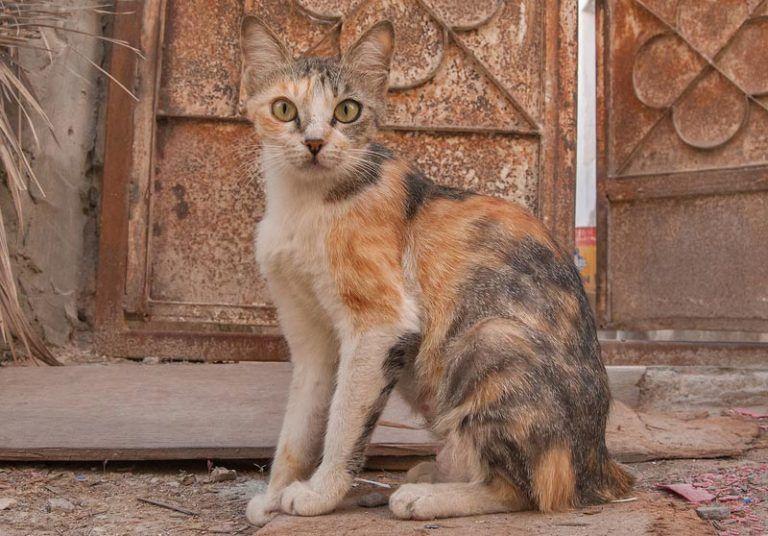 Приобретение, содержание и разведение кошек породы аравийский мау