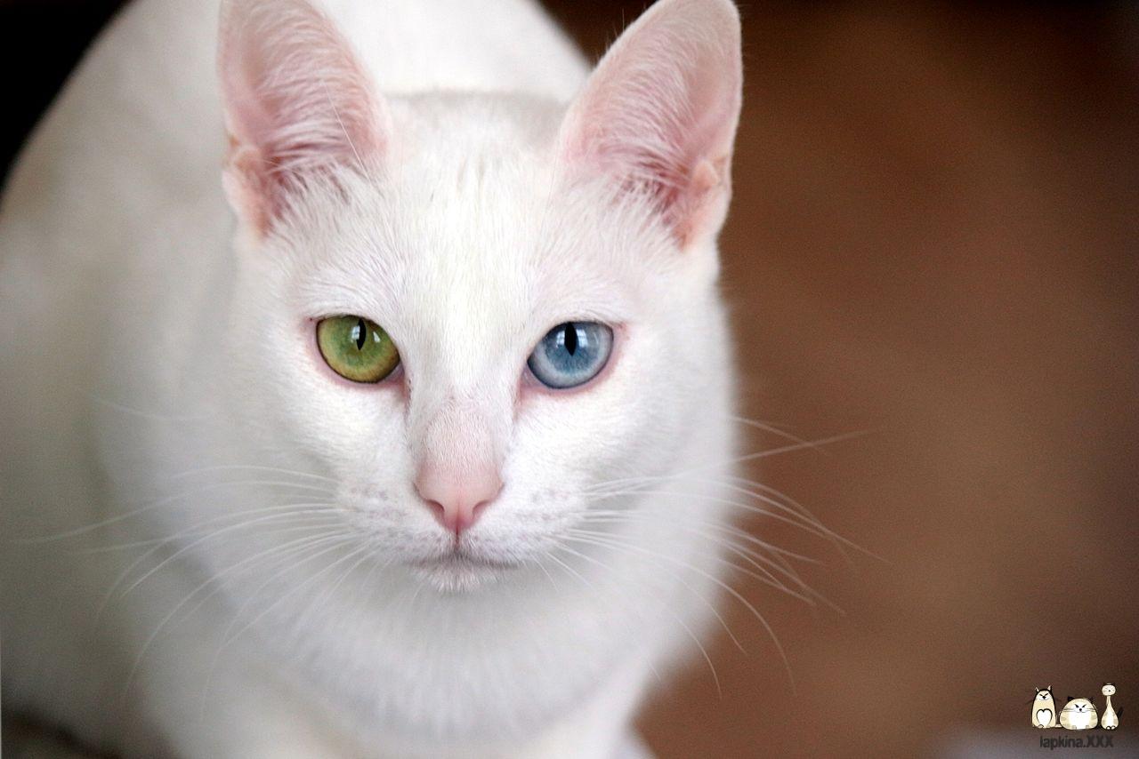 Као-мани — порода кошек «Алмазный глаз»