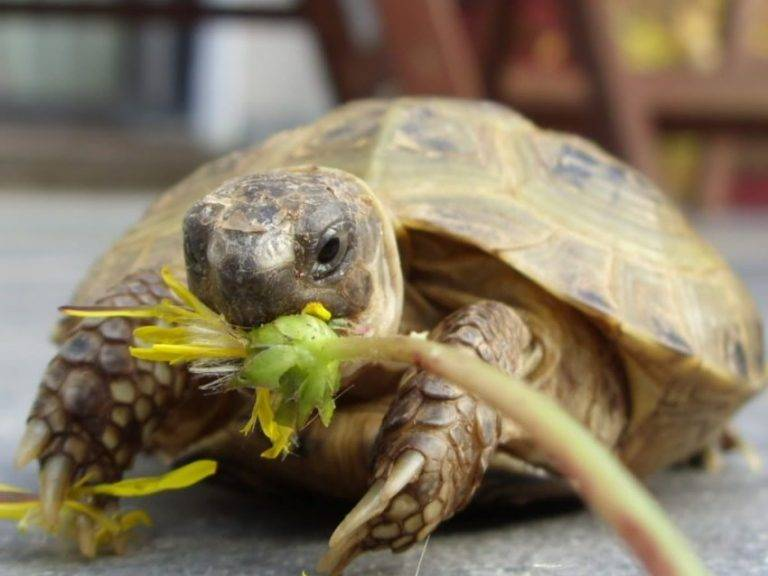 Среднеазиатская черепаха — уход и содержание дома