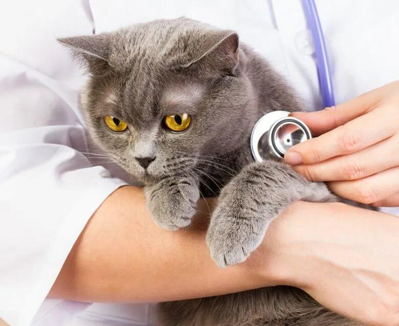Внутреннее кровотечение у кошки: как распознать и что делать