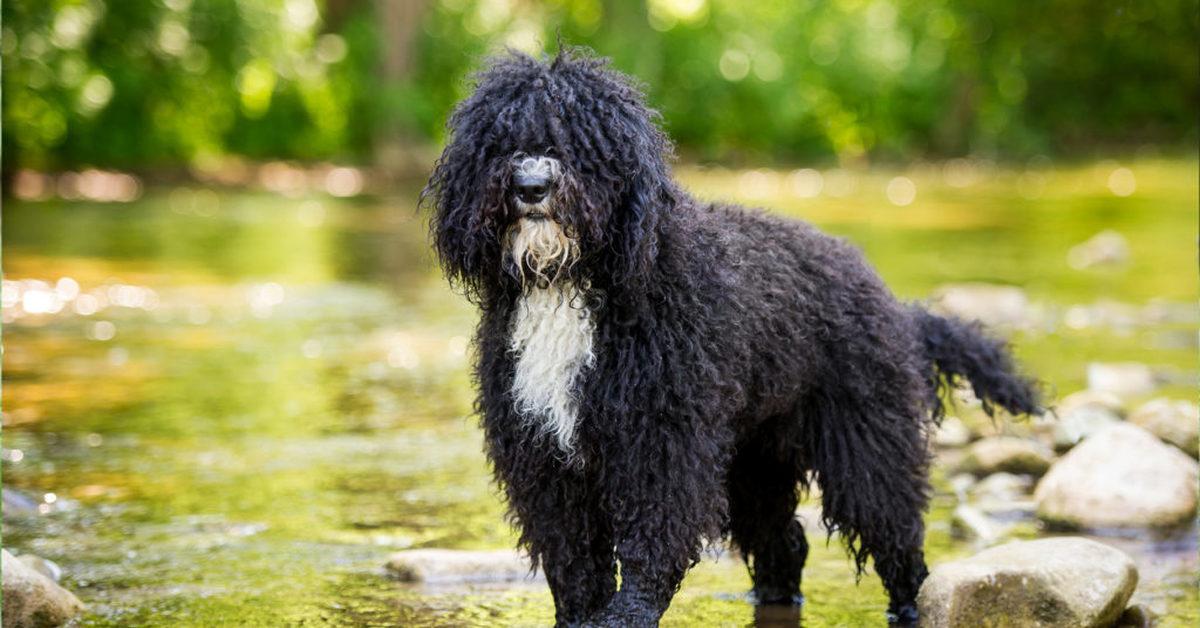 Испанская водяная собака