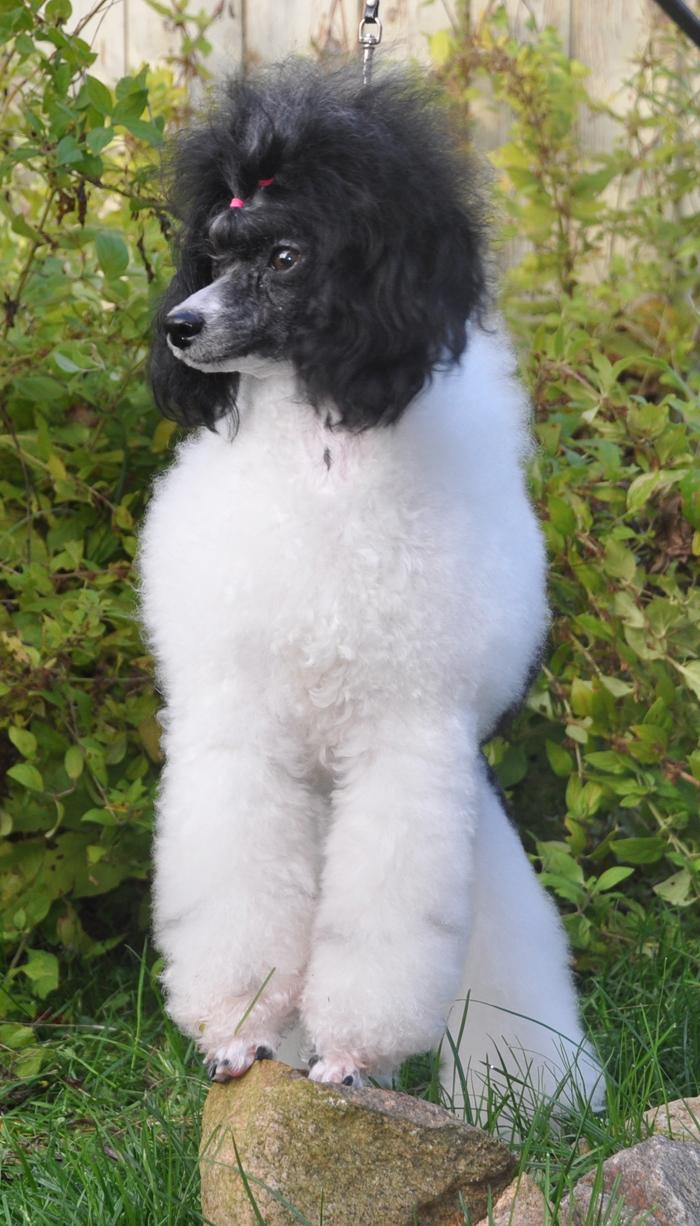 Фантом и Арлекин — порода собак