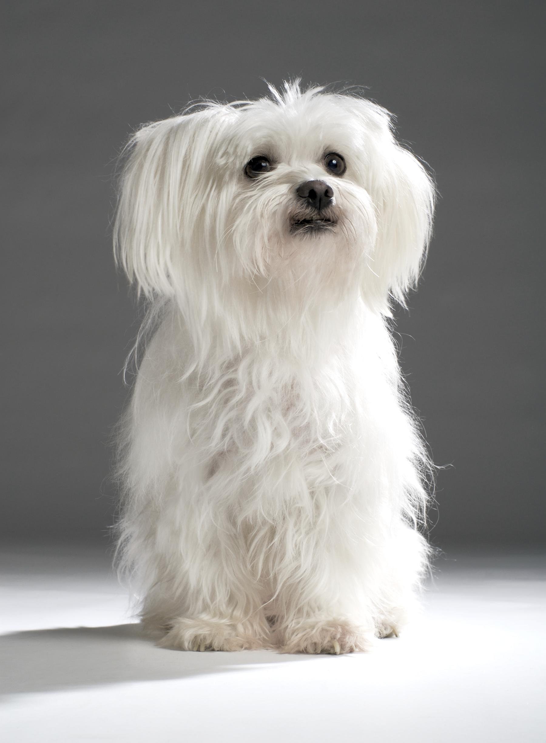 Комнатно-декоративные собаки: ТОП-10 самых популярных пород