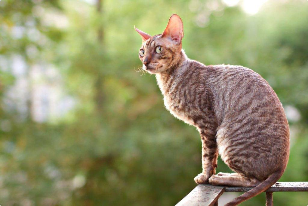 Топ пород кошек для аллергиков