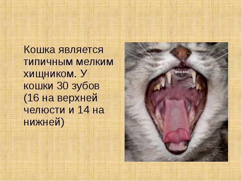 Сколько зубов у кошки: схема челюсти взрослого кота