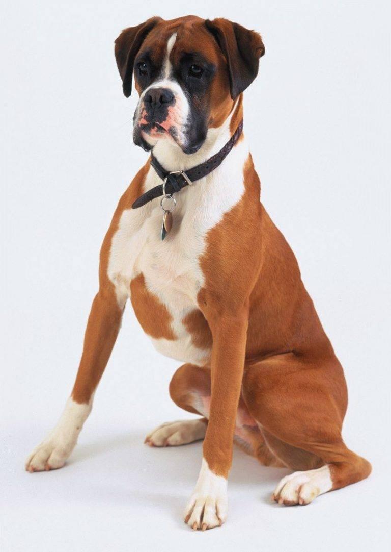 Неприхотливые друзья: какие породы собак подходят для содержания в квартире