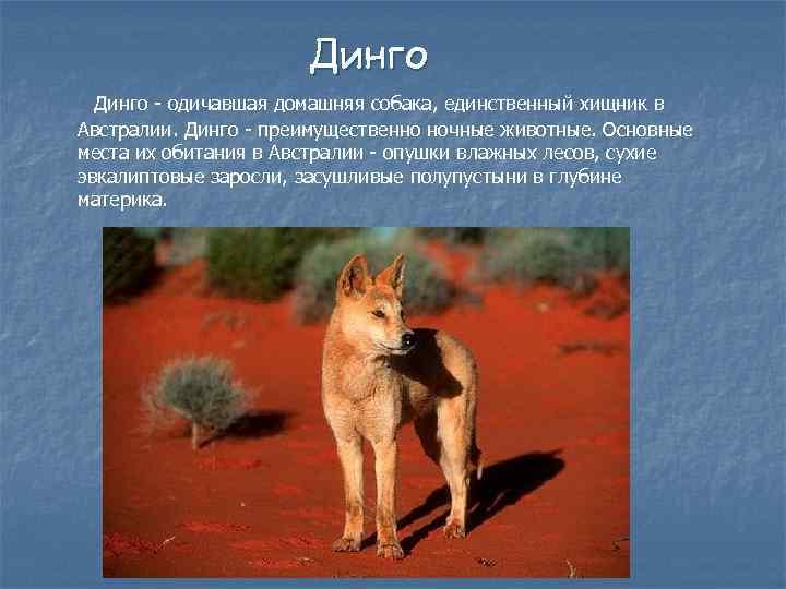 Дикая собака динго в Австралии: где обитает порода