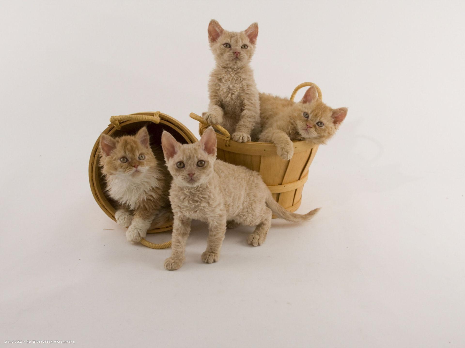 Особенности кошек породы кимрик и уход за ними