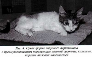 Что такое коронавирус у кошки и как его лечить