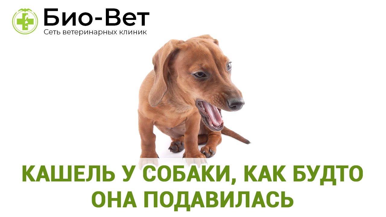 Собака кашляет как будто подавилась: почему и что делать