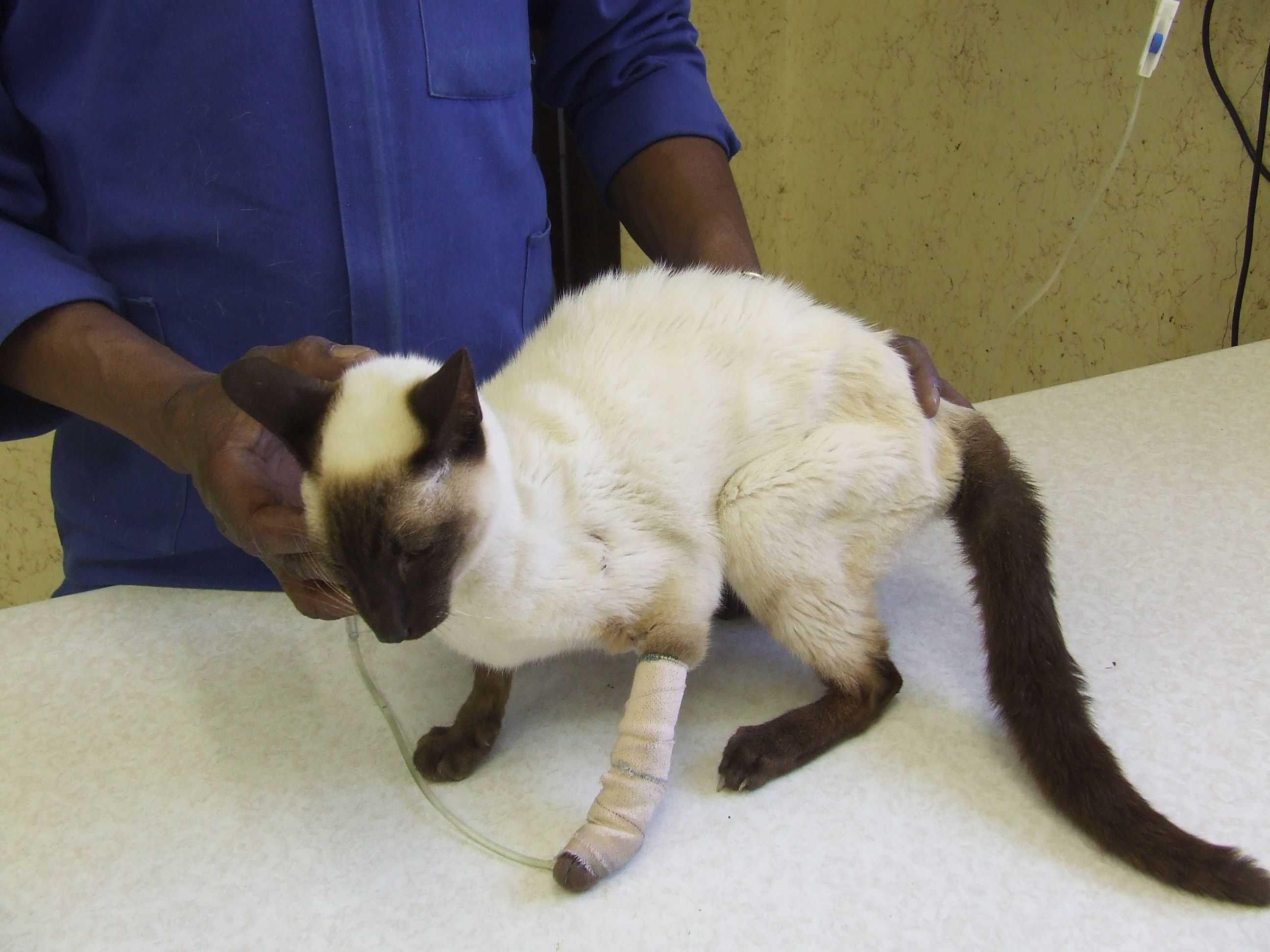 Почему возникает почечная недостаточность у кошек и какие способы лечения применяют
