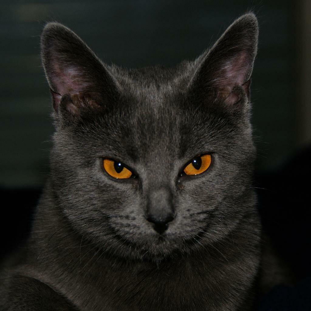 Шартрез (кошка)