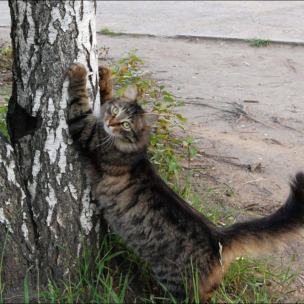 Зачем кошки обдирают обои и царапают мебель