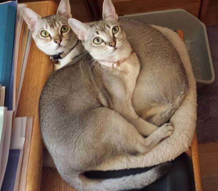 Сингапурские кошки и коты