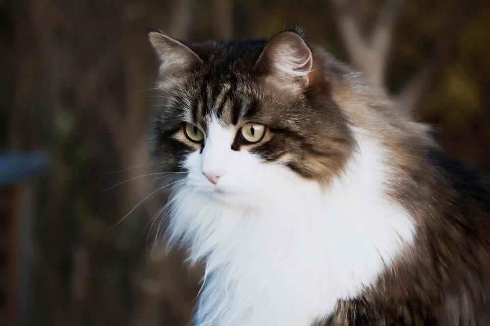 Самые умные породы кошек: рейтинг интеллектуальных представителей