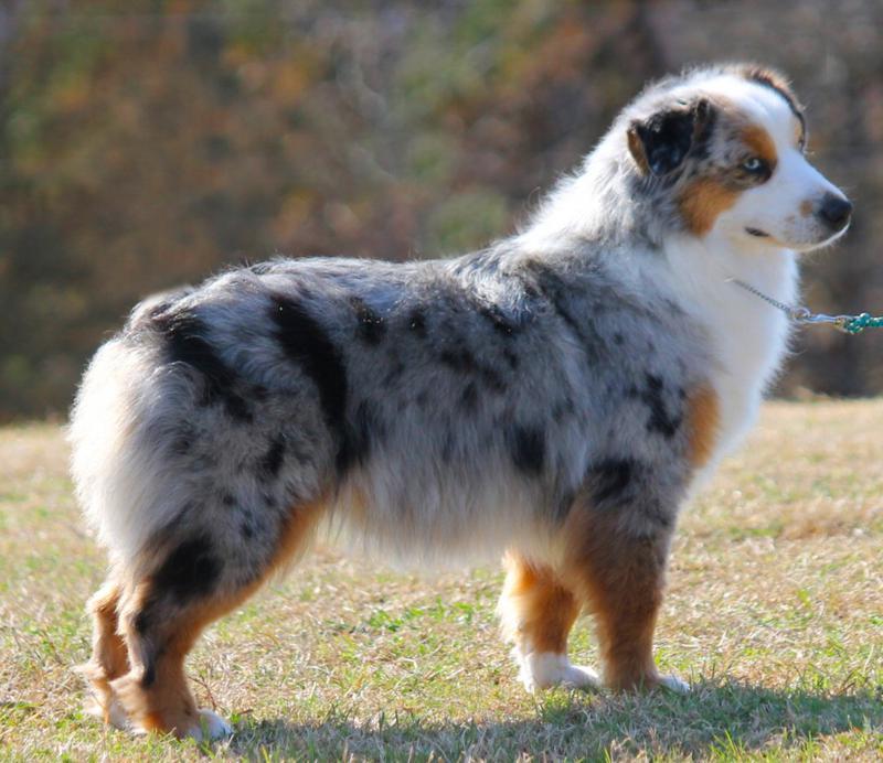 Миниатюрная американская овчарка