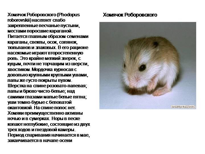 Хомяк — порода и внешний вид животного, особенности