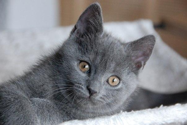 Картезианская кошка (картезианский кот, шартрез)