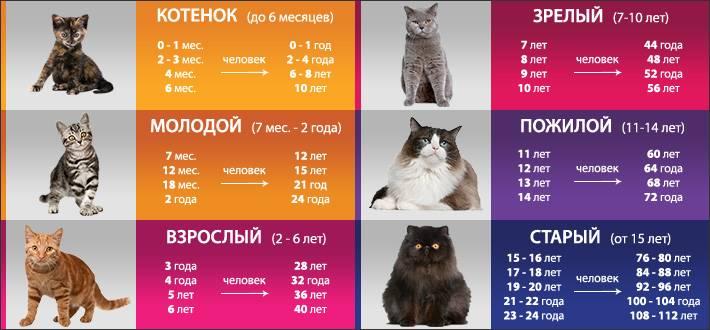Возраст кошки по человеческим меркам