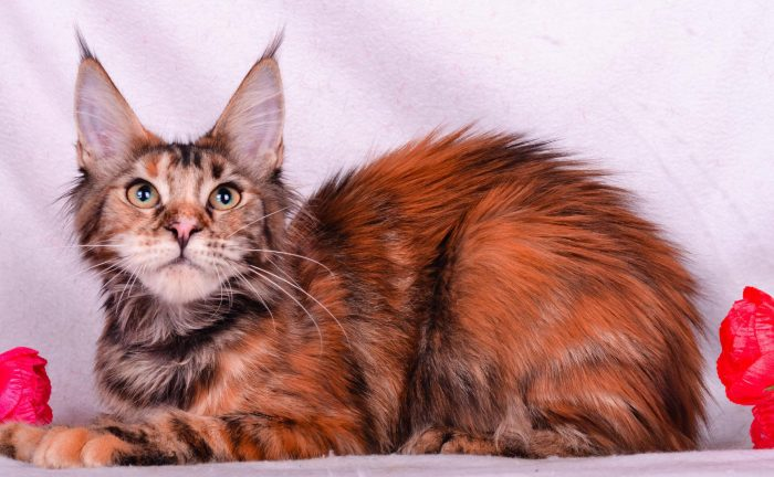 Кошка с кисточками на ушах: примеры домашних пород