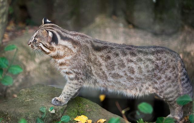 Амурский лесной кот (дальневосточная леопардовая кошка)