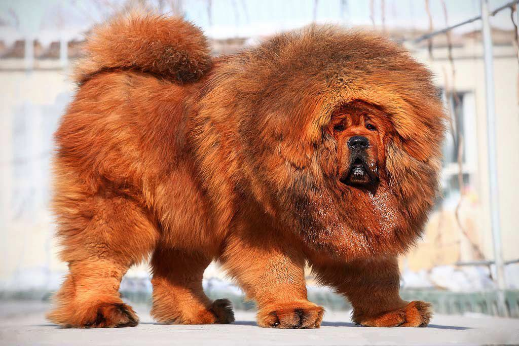 Большие собаки: породы крупных размеров и их названия