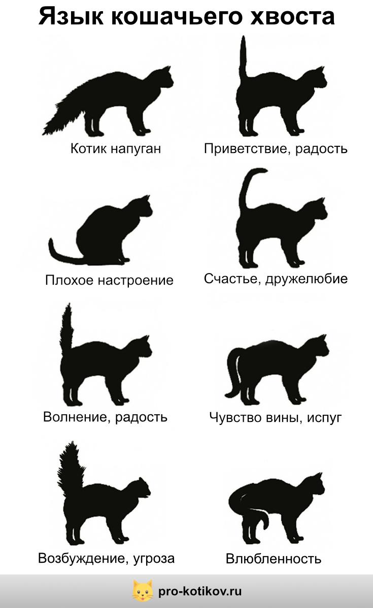 О чем «говорит» кошачий хвост: разбираем все положения