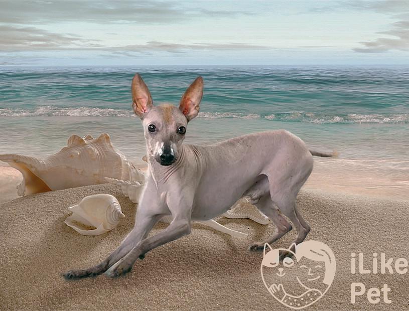 Необычная собака-цветок из Перу: перуанская голая собака