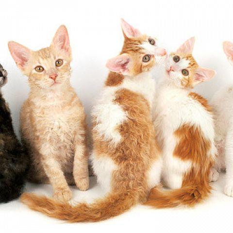 Особенности внешности, характера и содержания кошек породы лаперм