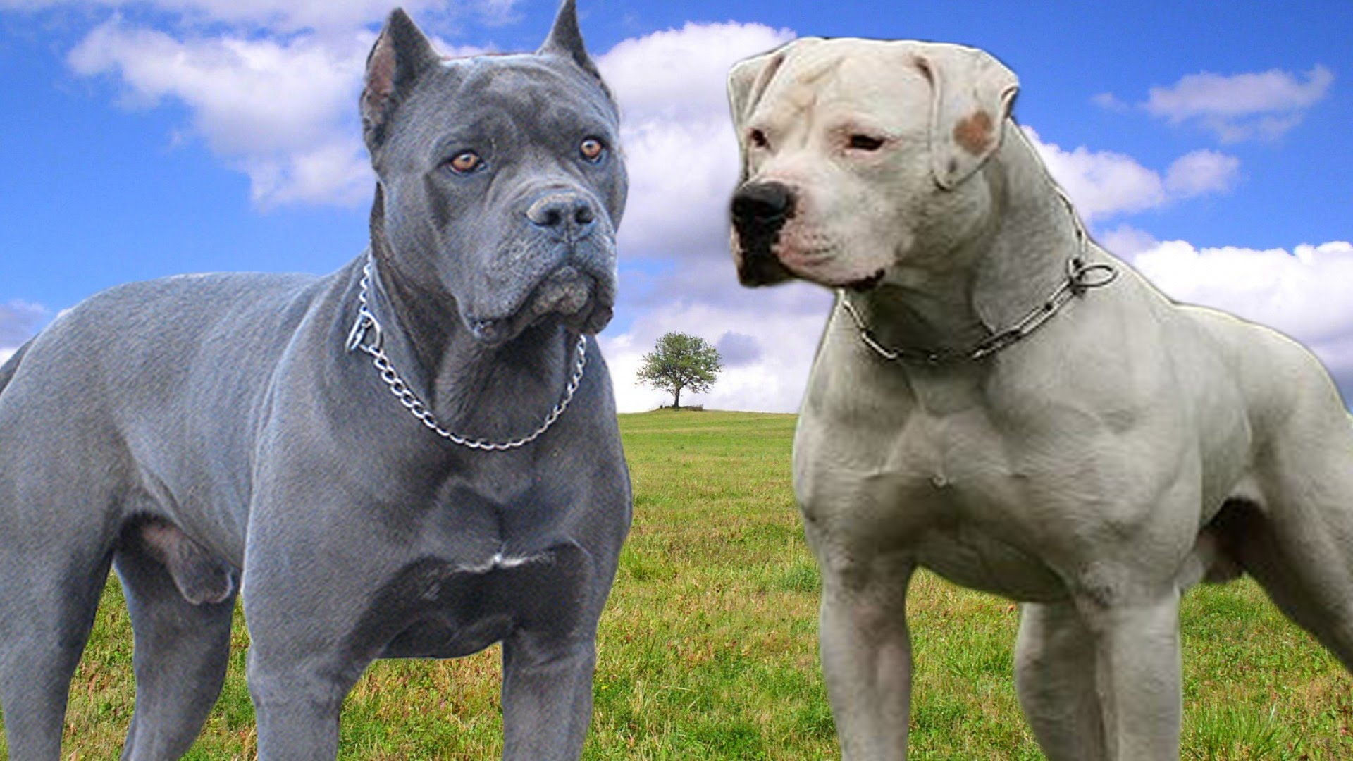 Американский бандог: описание породы собак