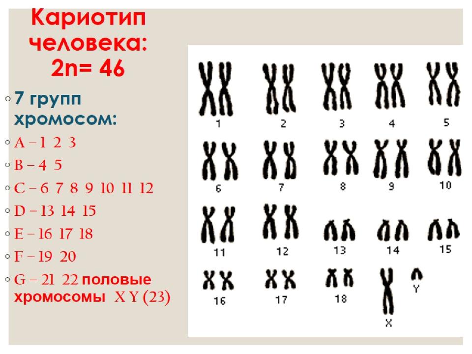 Хромосомы у кошки: количество, особенности, отклонения