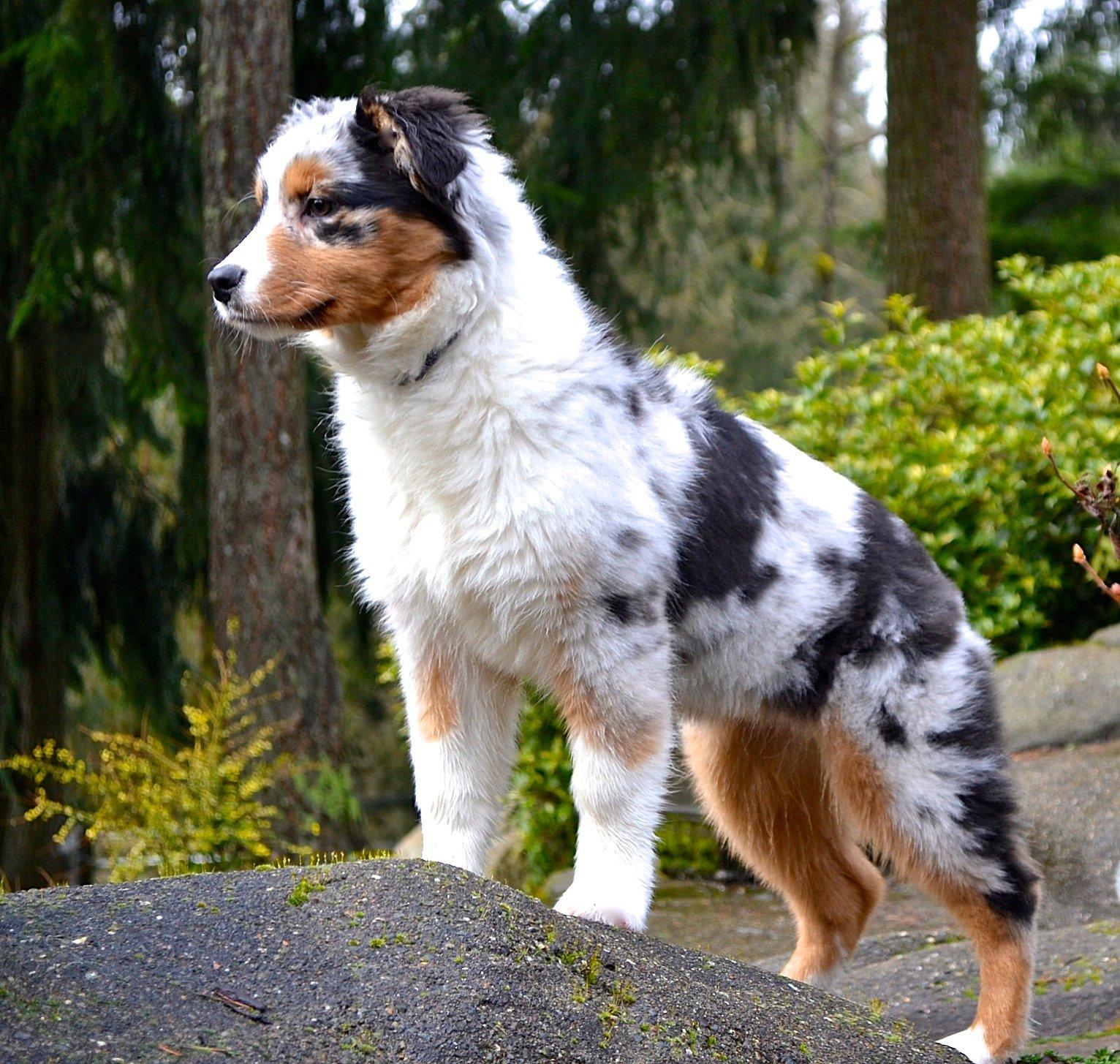 Австралийская овчарка аусси: описание породы собак