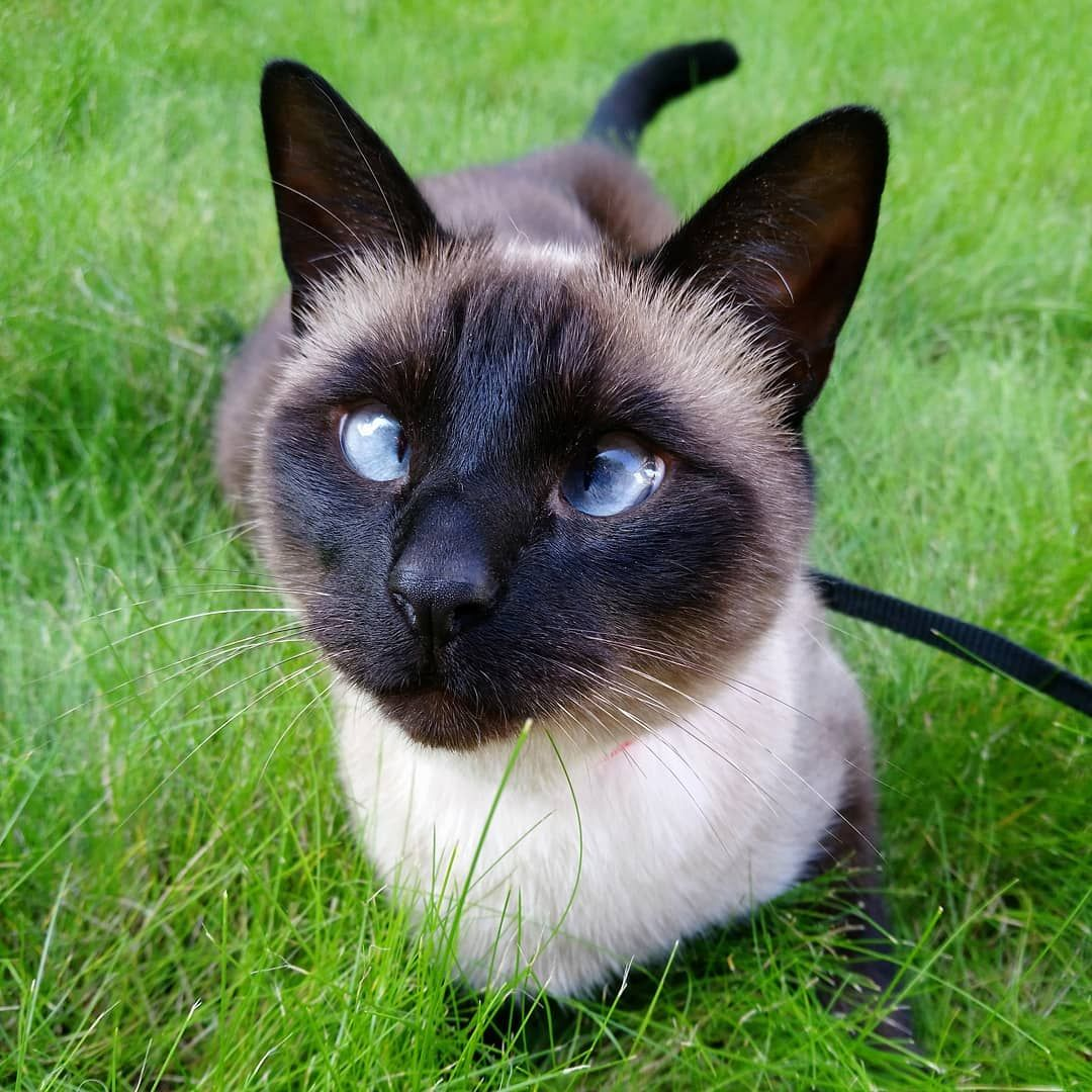 Косоглазый кот: подробный обзор пород с описанием