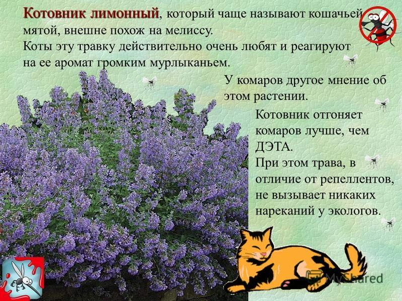 Кошачья мята: для чего нужна и почему животные ее любят