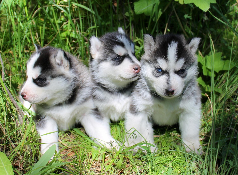 Клички для собак хаски мальчиков и девочек