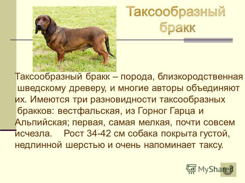Итальянский бракк (порода собак): описание