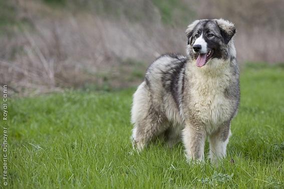 Румынская карпатская овчарка