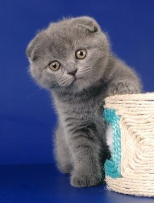 Как назвать шотландского котенка мальчика: лучшие варианты кличек