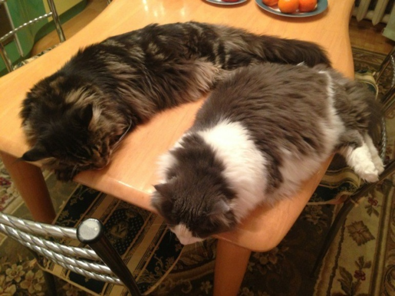 5 гуманных способов как отучить кота лазить на стол