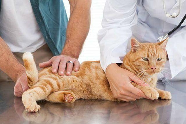 Цистит у кота: как лечить патологию