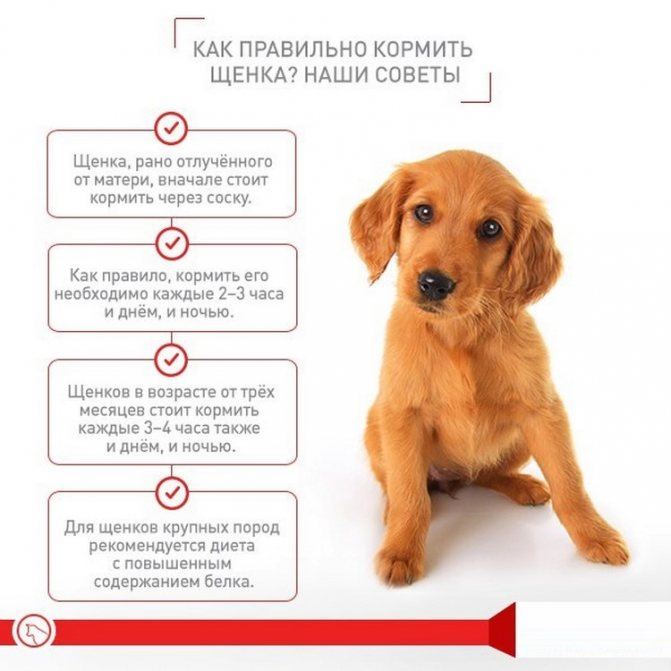Чем и как правильно кормить щенка?