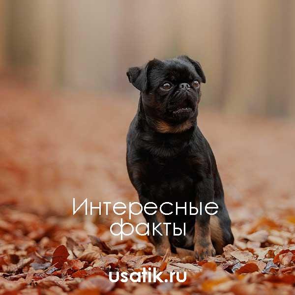 Пти брабансон: описание породы собак и характера